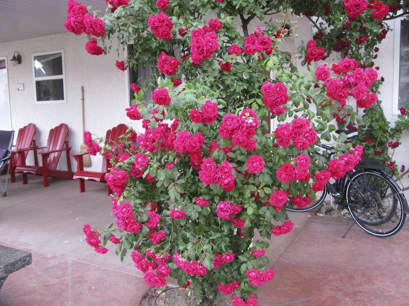 Osoyoos lakeside roses